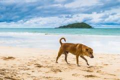 Brown pies chodzi na plaży zdjęcie stock