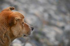 Brown pies czeka ludzi Fotografia Royalty Free