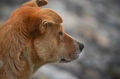 Brown pies czeka ludzi Obraz Stock
