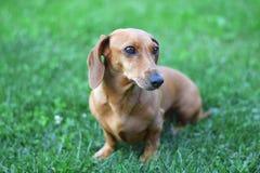 Brown pies na zielonej trawie w ogródzie Obrazy Stock