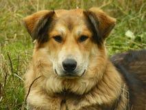 Brown pies z pięknymi oczami obraz royalty free