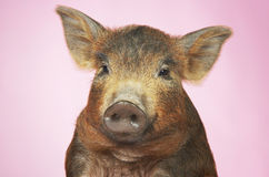 Brown Pig Against Pink Background. Closeup portrait of a brown pig against pink background Royalty Free Stock Images