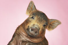 Brown Pig Against Pink Background. Closeup portrait of a brown pig against pink background Stock Image