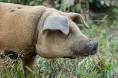 Brown pig with black nose on the farm. Cute hog in the mud. Cattle farm concept. Livestock background. royalty free stock image