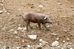 Brown pig on dirt. Brown pig Walking on dirt, rocks stock photography