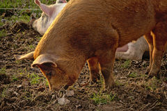 Brown pig foraging for food Sus scrofa domesticus Royalty Free Stock Image