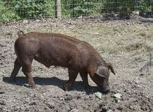 Brown pig in wallow stock photography