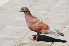 Brown pigeon Stock Photo