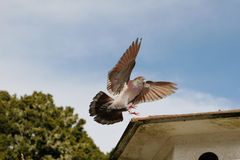 Brown pigeon coming in to land. Beautiful brown pigeon coming in to land on the bird house royalty free stock images