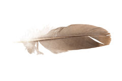 Brown pigeon feather Royalty Free Stock Image