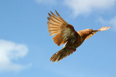 Brown pigeon flying. Beautiful brown flying, blue sky background stock image
