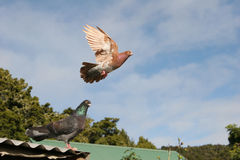 Brown pigeon flying away. Beautiful brown pigeon flying away royalty free stock photo