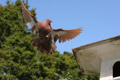 Brown pigeon flying away from the bird house. Beautiful brown pigeon flying away from the bird house royalty free stock photos