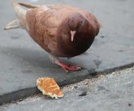 Brown Pigeon royalty free stock photos