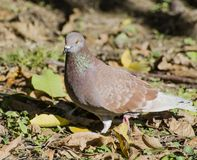 Brown pigeon is looking for something to eat. Brown pigeon is walking through the garden and looks at what`s happening Stock Photos