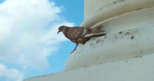 Brown pigeon on pillar of Antigua Guatemala Church against a blue sky