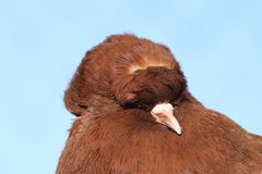 Brown pigeon portrait Royalty Free Stock Photos