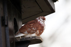 Brown pigeon Royalty Free Stock Images
