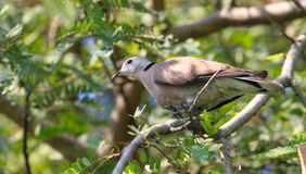 Brown pigeon on the tree. In thailand Royalty Free Stock Image