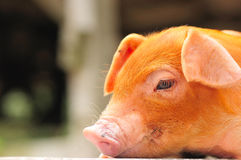 Free Brown Piglet Series 1 Royalty Free Stock Image - 5076566