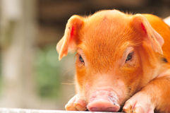 Brown Piglet Series 2. A portrait shot of a brown piglet stock photography