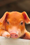 Brown Piglet Series 4 Royalty Free Stock Photo