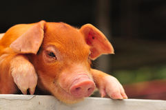 Free Brown Piglet Series 5 Royalty Free Stock Image - 5076576