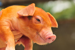 Brown Piglet Series 6. A portrait shot of a brown piglet Royalty Free Stock Images