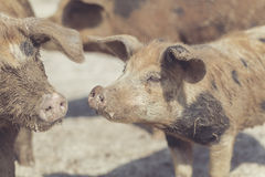 Brown piglets cute Stock Image