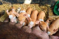 Brown piglets feeding time Royalty Free Stock Photos