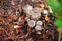 Brown-Pilze mit weißen Stellen Lizenzfreie Stockfotos