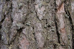 Brown pine bark in the forest Stock Photos