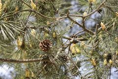 Brown pine cone Stock Photography