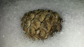 Cone in winter. Brown pine cone covered with snow in winter Royalty Free Stock Image