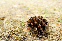 Brown pine cone Royalty Free Stock Image
