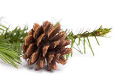 Brown pine cone with fir branch Royalty Free Stock Photo