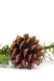 Brown pine cone with fir branch Royalty Free Stock Images