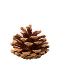 Brown pine cone isolated on white background. Brown pine cone on white background Stock Image