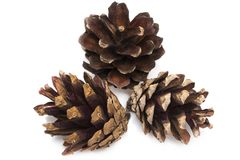 Brown pine cone isolated on a white background.  Royalty Free Stock Photos