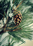 Brown pine cone on pine tree with snow. Selective focus Royalty Free Stock Photos