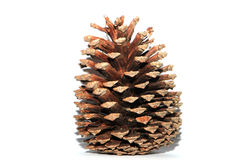 Brown pine cone on white background Stock Image