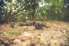Brown Pine Cones on Brown Stone Ground Stock Image