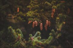 Brown Pine Cones on Green Trees Royalty Free Stock Photos