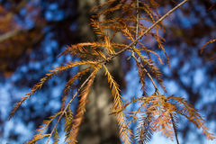 Brown Pine. Tree limb against sky royalty free stock photography