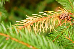 Brown pine twig Stock Photography