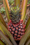 brown pineapple in the bush Stock Photography