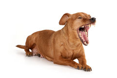 Brown pinscher dog Royalty Free Stock Image