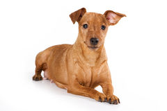 Brown pinscher dog. On white background stock image