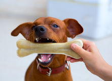 Brown pinscher dog playing with bone Stock Photo
