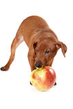 Brown pinscher puppy. With apple stock photography